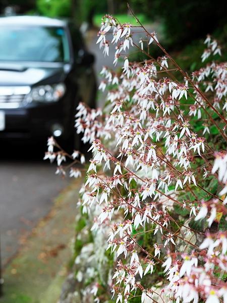 ユキノシタの白い花