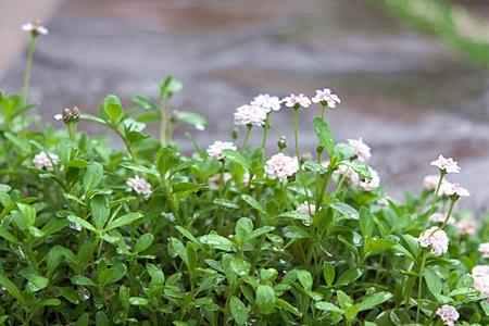 ヒメイワダレソウの白い花