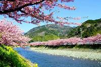 河津桜(全景)