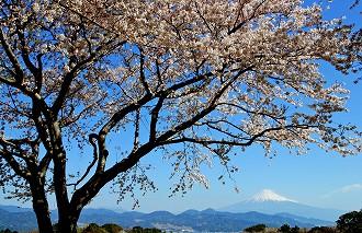 桜・富士山(日本平より)