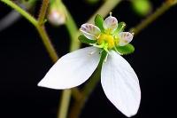 ユキノシタの花(拡大)